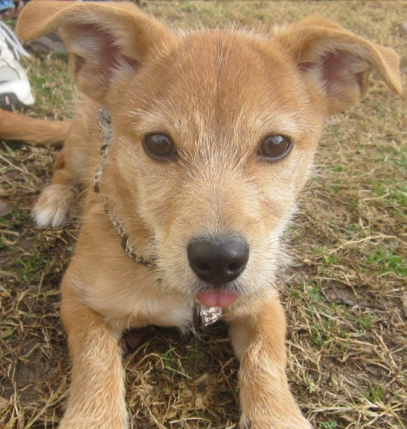 Cute tan terrier puppy