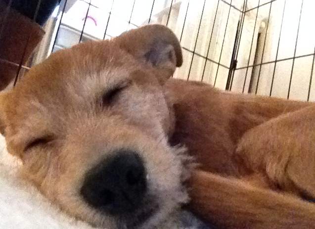 Tan terrier puppy sleeping
