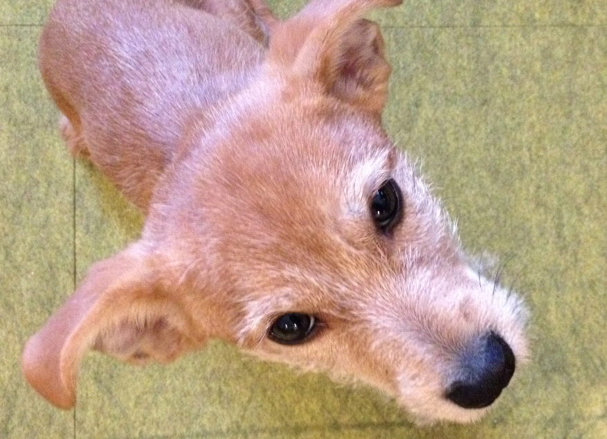 Tan terrier puppy